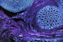 Микроскопическое фото животных клеток в син и пурпуре Стоковые Фото