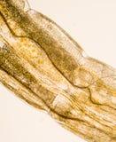 Микроскопическое фото макроса личинки chironomid Стоковая Фотография RF
