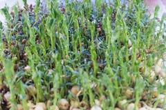 Микро- заводы усика гороха зеленых цветов молодые стоковая фотография rf