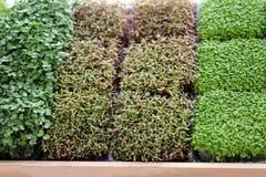 Микро- зеленый овощ ростков для здоровой еды стоковая фотография
