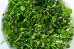 микро- ростки salat редиски и arugula Стоковое Изображение