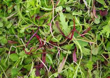 Микро- салат mesclun Стоковое Фото