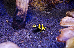 Микро- лягушка Стоковое фото RF
