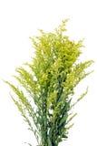 милан цветка Стоковые Фотографии RF