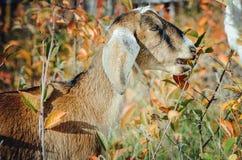 Милая англо-Nubian коза есть зеленые листья стоковые изображения rf