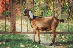 Милая англо-Nubian коза стоковые изображения rf