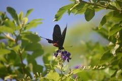 Милая бабочка Мормона шарлаха на фиолетовом цветке Стоковое Фото