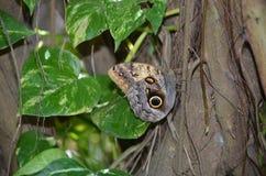 Милая бабочка morpho отдыхая в саде бабочки Стоковые Фотографии RF