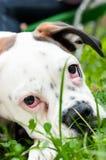 Милая белая собака боксера с грустными глазами лежа в траве стоковая фотография rf