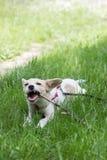 Милая белая собака играя с ручкой, в парке стоковые изображения