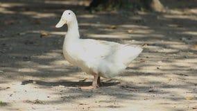Милая белая утка моделируя и после этого выходя сток-видео