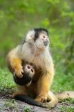 милая белка обезьяны Стоковые Изображения RF