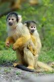 милая белка обезьяны Стоковая Фотография