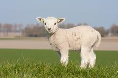 милая весна Нидерландов овечки Стоковые Изображения RF