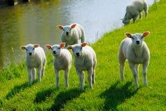 милая весна овечек Стоковое Фото