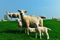 милая весна овечек Стоковые Изображения