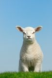 милая весна овечки Стоковые Изображения RF