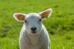 милая весна овечки Стоковые Фотографии RF