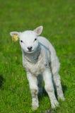 милая весна овечки Стоковая Фотография RF