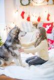 Милая девушка имея потеху дома с Malamute собаки дома в украшенной комнате стоковое фото rf