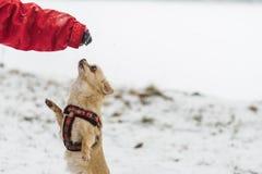 Милая длинн-с волосами бежевая собака чихуахуа играя в снеге Стоковые Фото