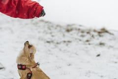 Милая длинн-с волосами бежевая собака чихуахуа играя в снеге Стоковые Фотографии RF