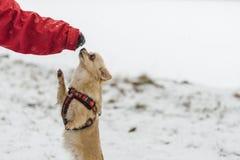 Милая длинн-с волосами бежевая собака чихуахуа играя в снеге Стоковое Изображение