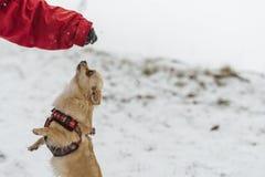 Милая длинн-с волосами бежевая собака чихуахуа играя в снеге Стоковое фото RF
