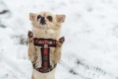 Милая длинн-с волосами бежевая собака чихуахуа играя в снеге Стоковая Фотография RF