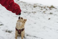 Милая длинн-с волосами бежевая собака чихуахуа играя в снеге Стоковые Изображения