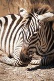 Милая зебра лежа на том основании стоковое фото rf
