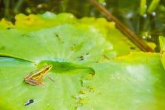 Милая зеленая лягушка на лист лотоса в пруде Лягушка Гуандуна (macrodactyla Hylarana), также известная как лягушка Гуандуна, thre Стоковое Изображение