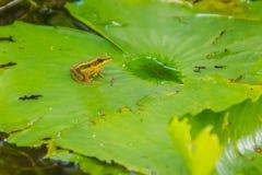 Милая зеленая лягушка на лист лотоса в пруде Лягушка Гуандуна (macrodactyla Hylarana), также известная как лягушка Гуандуна, thre Стоковые Фотографии RF