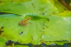 Милая зеленая лягушка на лист лотоса в пруде Лягушка Гуандуна (macrodactyla Hylarana), также известная как лягушка Гуандуна, thre Стоковое Фото