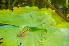 Милая зеленая лягушка на лист лотоса в пруде Лягушка Гуандуна (macrodactyla Hylarana), также известная как лягушка Гуандуна, thre Стоковые Изображения RF