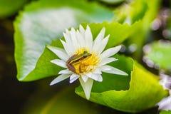 Милая зеленая лягушка на цветке лотоса в пруде Лягушка Гуандуна (macrodactyla Hylarana), также известная как лягушка Гуандуна, 3 Стоковые Изображения