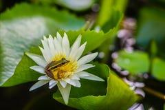 Милая зеленая лягушка на цветке лотоса в пруде Лягушка Гуандуна (macrodactyla Hylarana), также известная как лягушка Гуандуна, 3 Стоковое Изображение RF