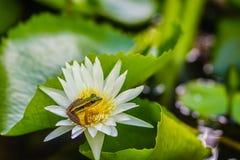 Милая зеленая лягушка на цветке лотоса в пруде Лягушка Гуандуна (macrodactyla Hylarana), также известная как лягушка Гуандуна, 3 Стоковые Фото