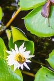 Милая зеленая лягушка на цветке лотоса в пруде Лягушка Гуандуна (macrodactyla Hylarana), также известная как лягушка Гуандуна, 3 Стоковые Фотографии RF