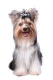 милая изолированная сидя белизна yorkshire terrier Стоковая Фотография