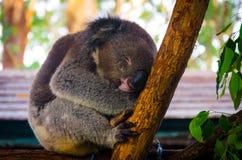 Милая коала имея мечту на дереве стоковая фотография rf