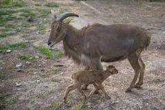 Милая коза младенца рядом с ее матерью стоковое изображение rf