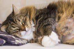 Милая коричневая белая женщина tabby сибирского кота внутри ослабляет время Стоковое Изображение