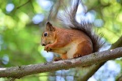 Милая красная белка есть гайку на ветви дерева Стоковая Фотография