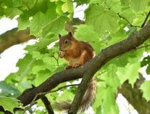 Милая красная белка есть гайку на ветви дерева Стоковые Фотографии RF