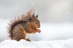 Милая красная белка сидя в снеге покрытом с снежинками стоковые фото