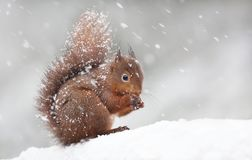 Милая красная белка сидя в снеге покрытом с снежинками стоковое изображение rf