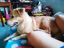 Милая ленивая собака щенка на кровати Стоковое Фото