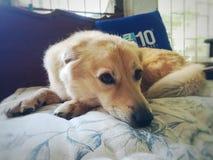 Милая ленивая собака щенка на кровати Стоковое Изображение RF