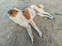 Милая ленивая собака щенка Стоковое Изображение RF